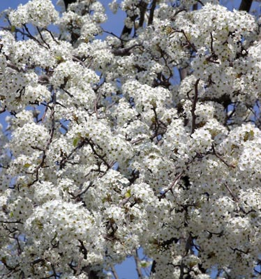 masses of blossoms